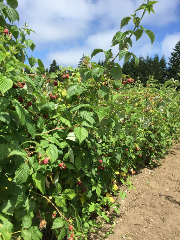 bainbridge-island-farms-raspberries