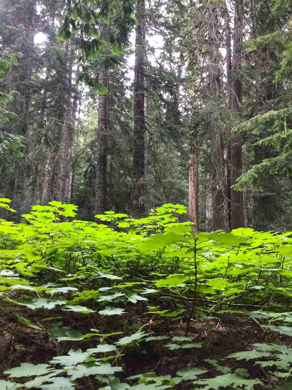ancient-cedars-trail8.jpg