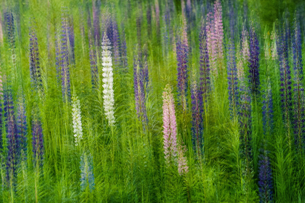 Lupine Field by Barb Kellogg