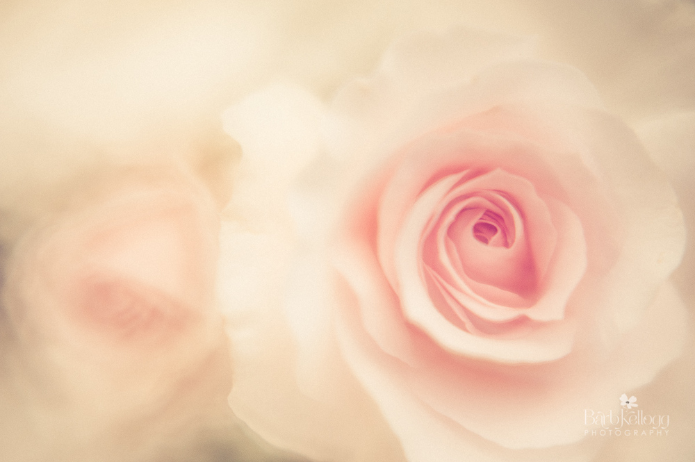 Dreamy Roses