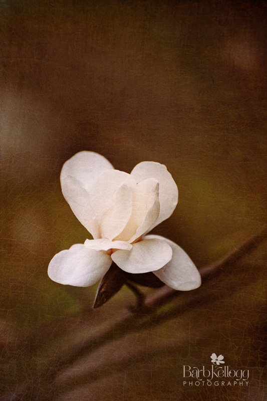 Calm Magnolia  by Barb Kellogg
