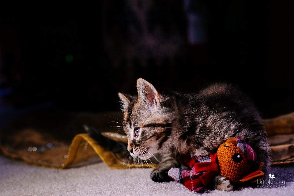 kitten-with-toy-barb-kellogg