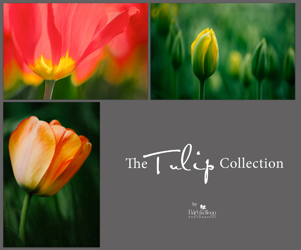 Tulip_Collection_1500px.jpg