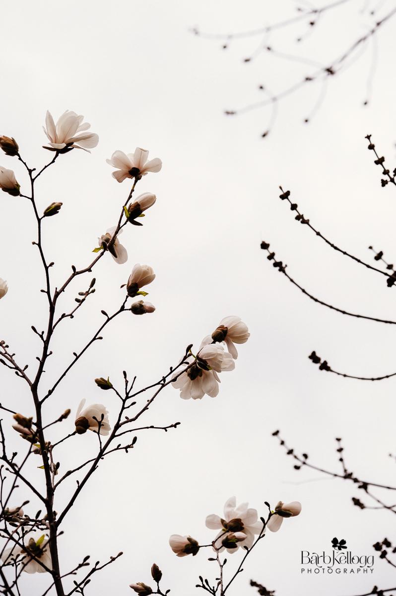 160418_DSC_3892_magnolia_Barb_Kellogg_1200px.jpg