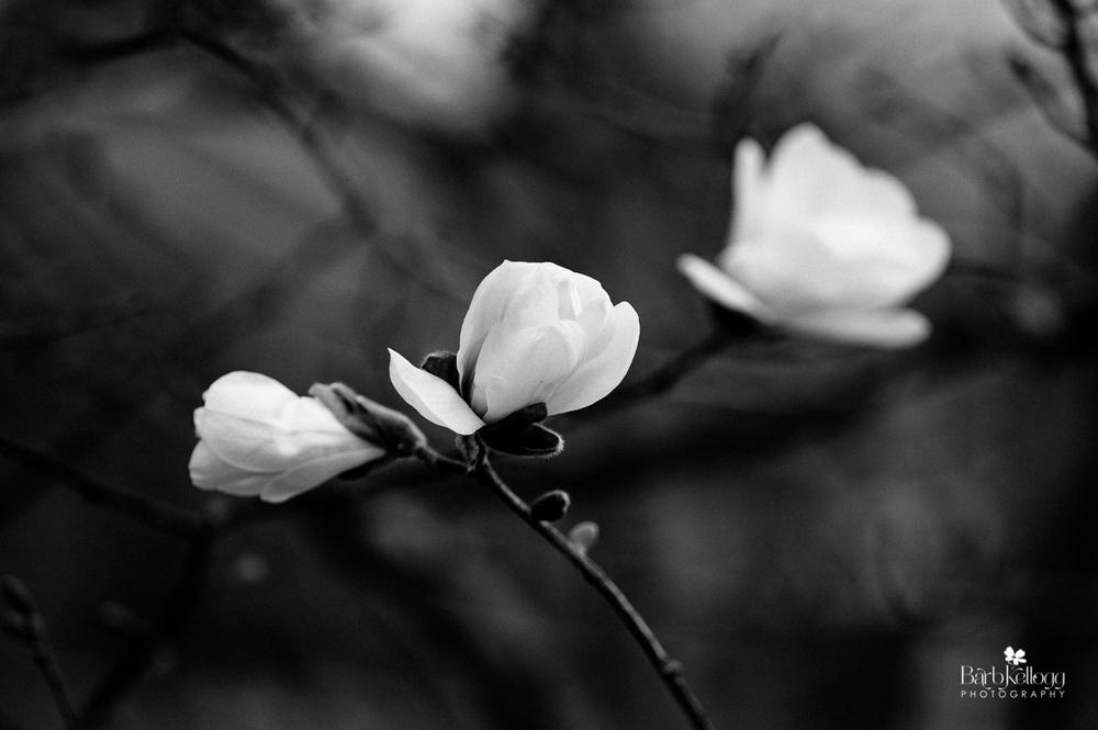 160418_DSC_3930_magnolia_Barb_Kellogg_1200px.jpg