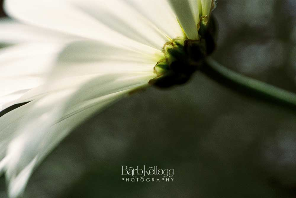"""Romantic Daisy"", by Barb Kellogg. Click for larger view. And it's available in the  Shop ."