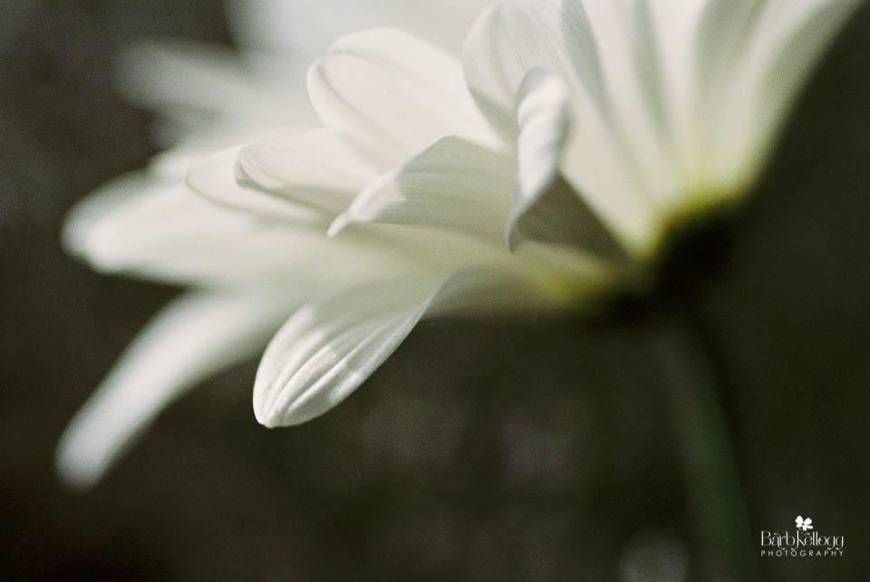 160815_0380_19_portra800_daisies_960px.jpg
