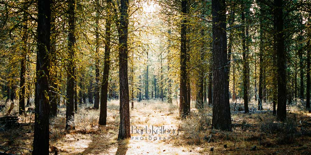 Stillness in the Pines, by Barb Kellogg. Also available for your wall. Click image to be taken to shop.