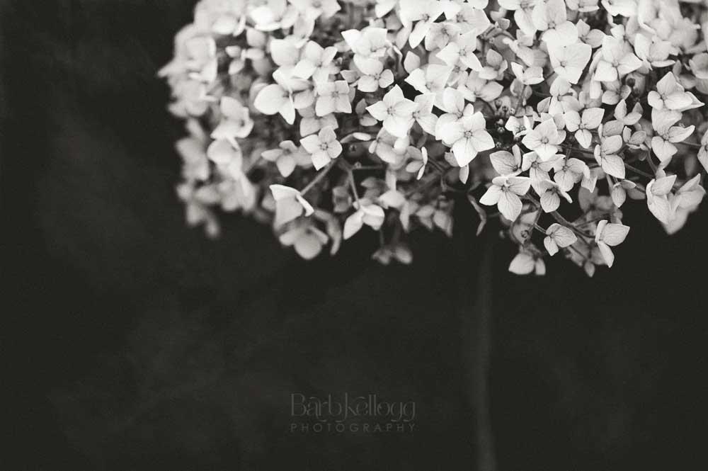 Sentimental Serenade, a hydrangea