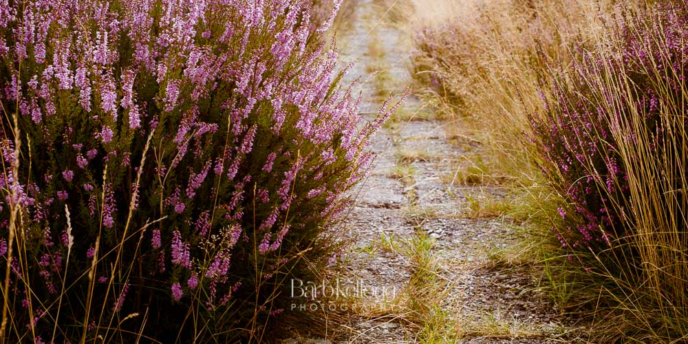 Path Through the Heather, photographed in Holland