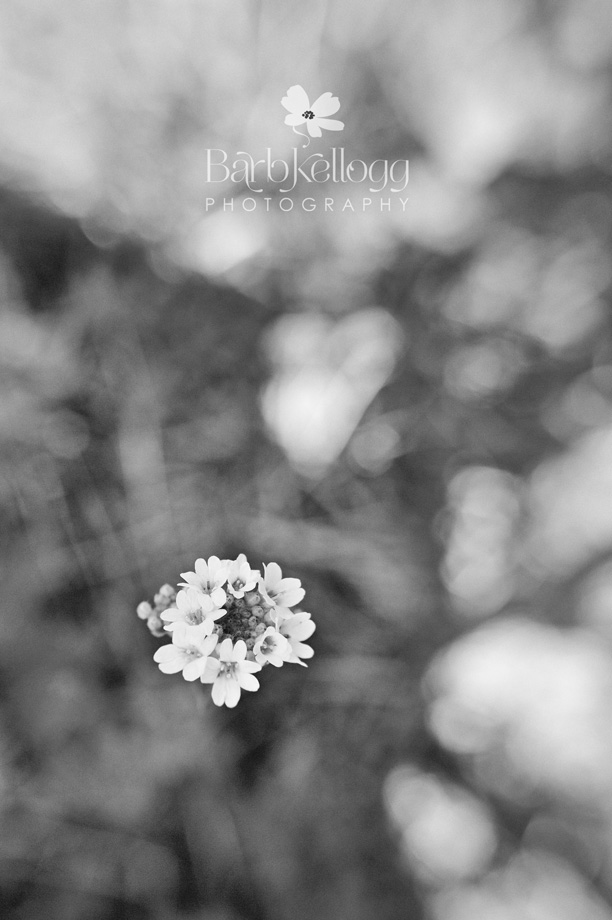 small white flowers in black and white