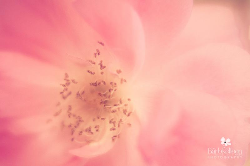130702_dsc_8047_rose.jpg