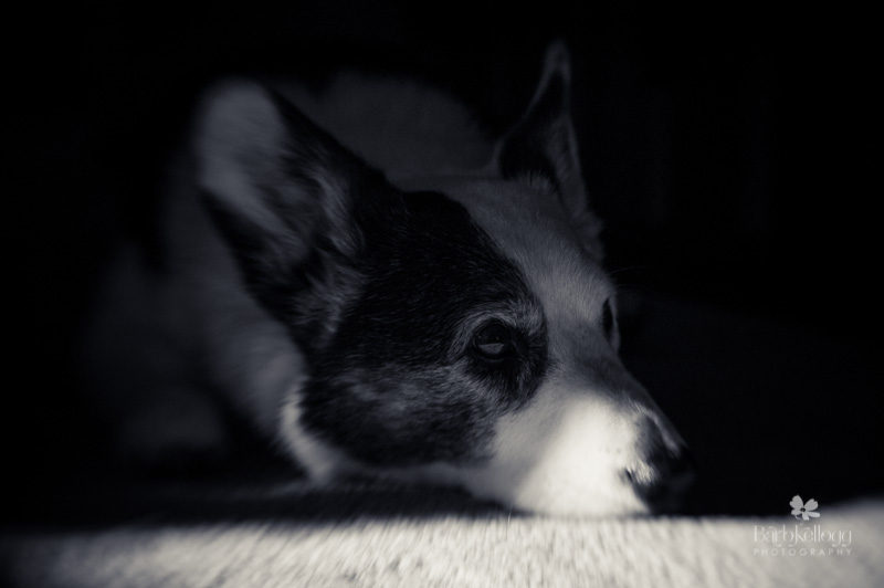 cardigan welsh corgi in shadow