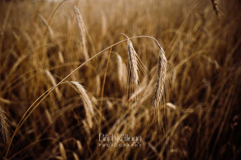170721_DSC_7193_wheat_1000px_barb_kellogg.jpg