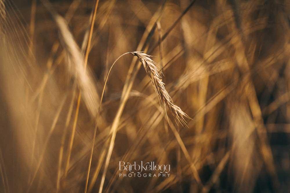 170721_DSC_7176_wheat_1000px_barb_kellogg.jpg