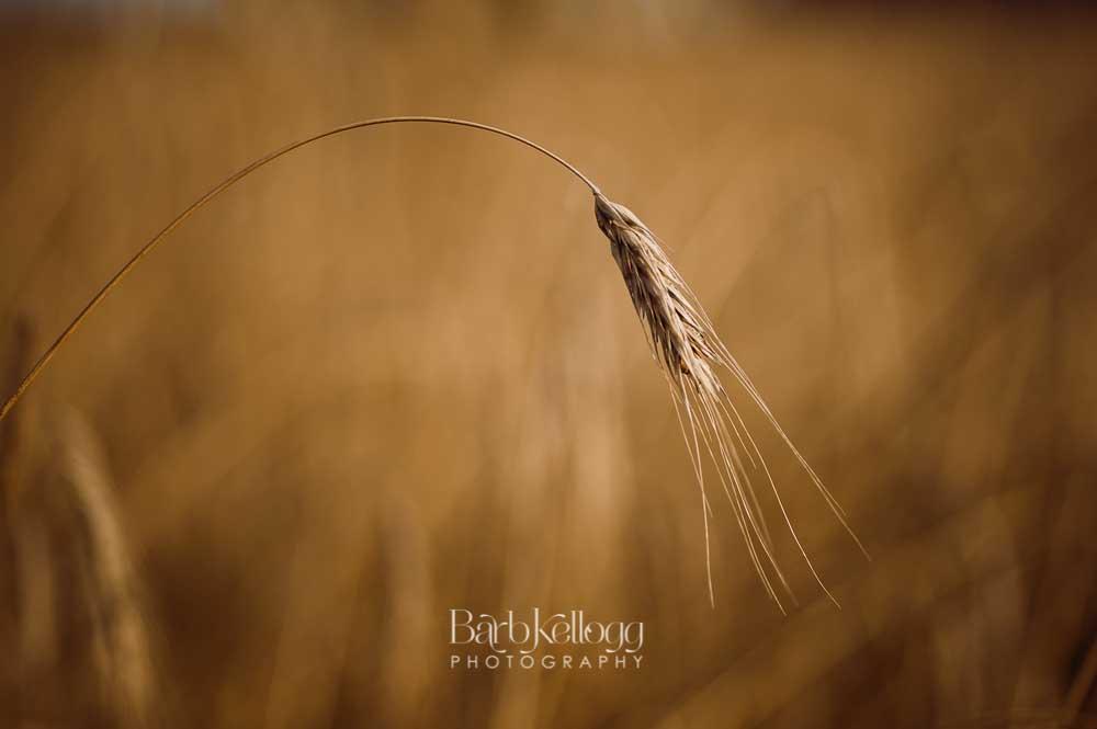 170721_DSC_7184_wheat_1000px_barb_kellogg.jpg