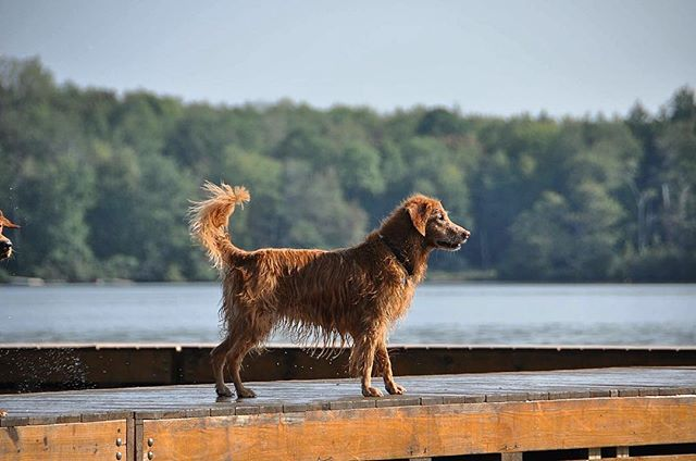 Miss Minnie. Dock Girl. Photo Credit: Cindy Everett  #dogcamp #goldens #goldenretriever #model #woof #lake #summer #film #documentary #dogslife #bark #retriever #dogstagram #dogsofinstagram #goldstock #play