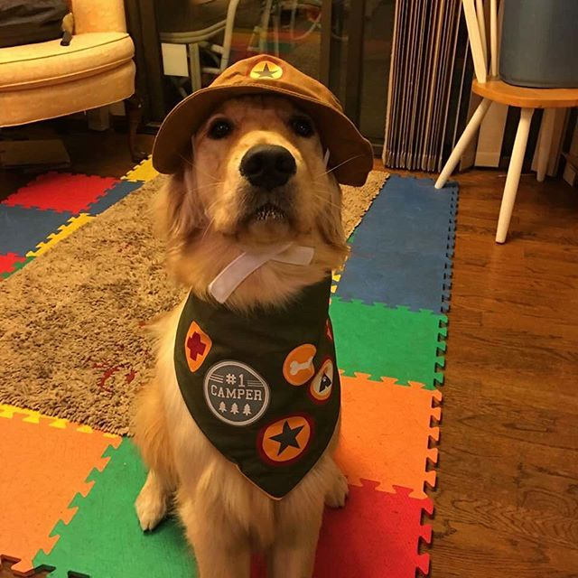 Looks like Lexi is dressed and  ready for Goldstock!  Photo Credit: Cheryl Taylor  #dogcamp #dogumentary #camp #camper #dogs #goldens #goldstock #woof #bestdressed #summer #goldensofinstagram #dogsofinstagram