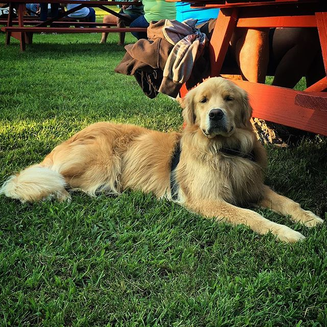 Nova getting ready for the Dog Camp movie screening!  #dogcamp #dogumentary #film #screening #dogs #dogsofinsta #golden #goldenretriever #woof #bark #summer #camp #rescue