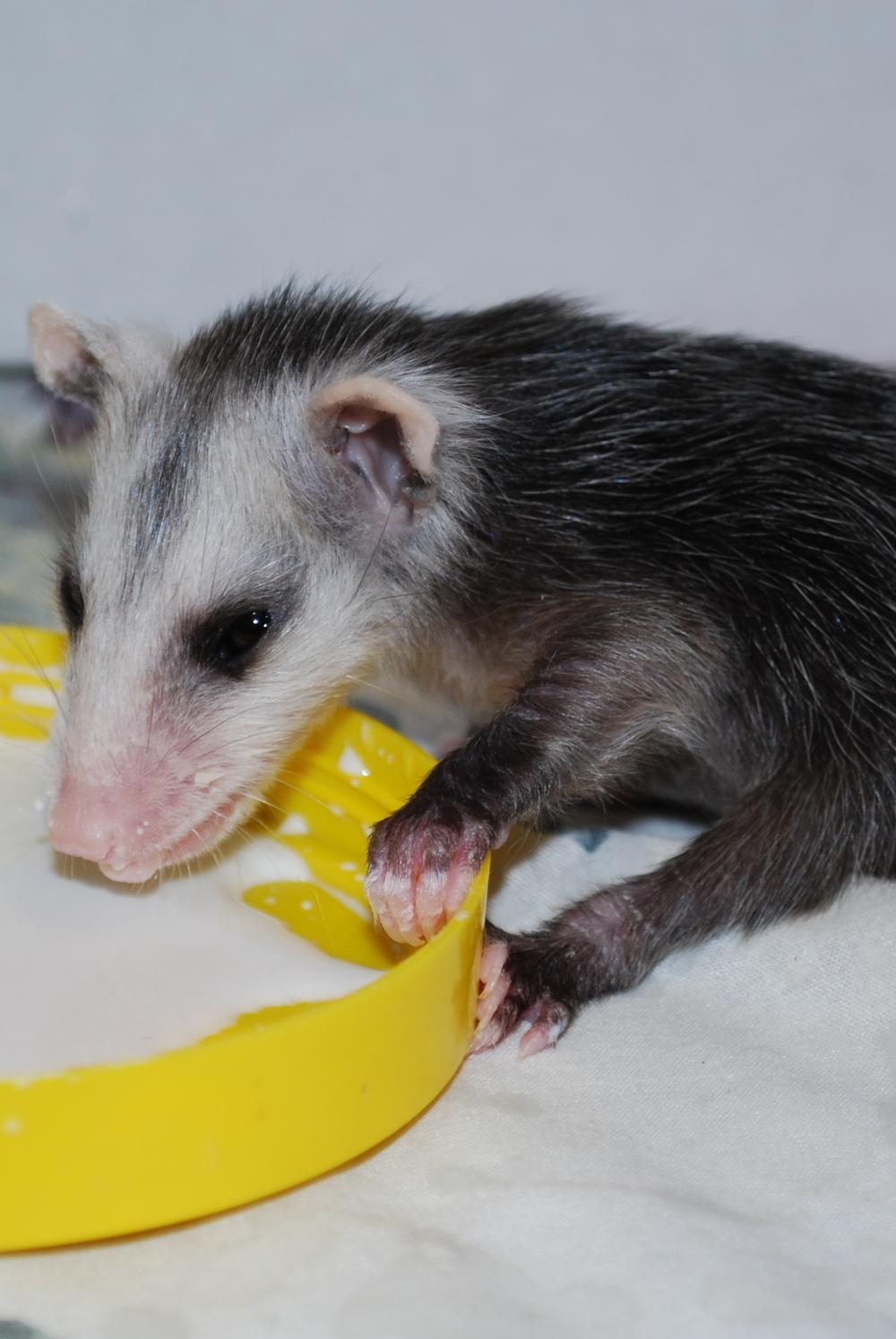baby_possum.JPG