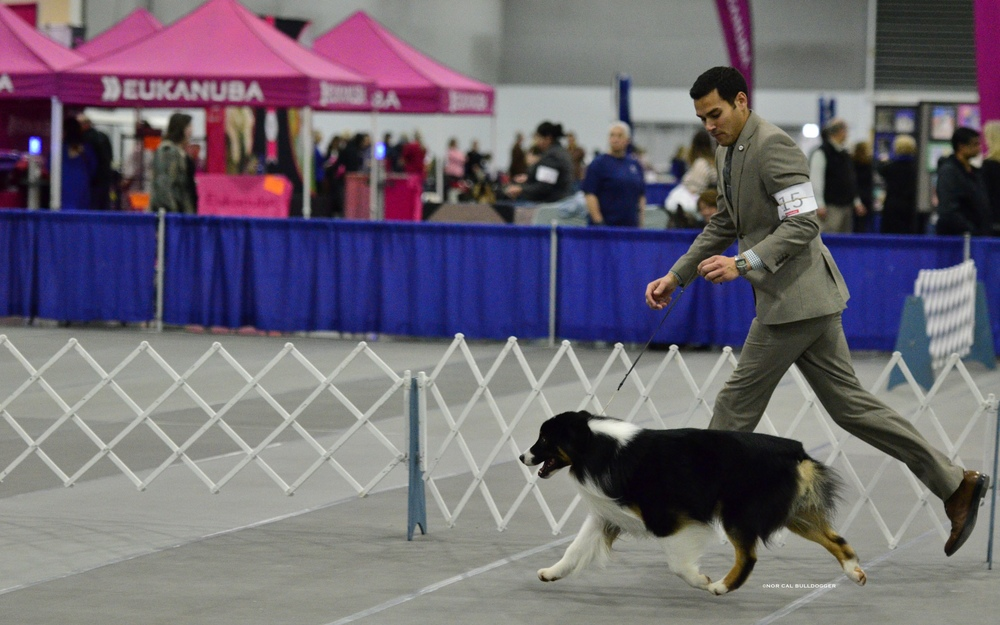 Wiki on his way to winning WD, BOW and BOB for a 5 point major over specials with AJ Travares to finish his AKC CH with style!