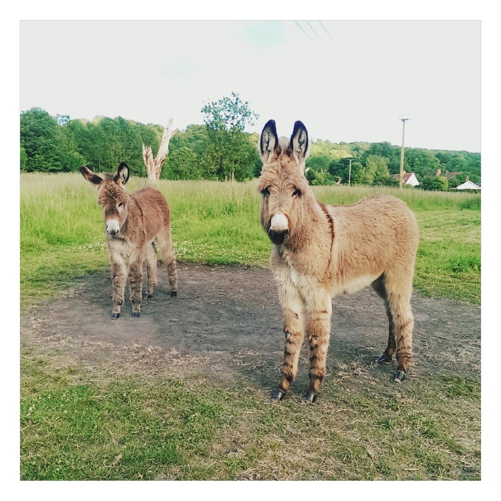 donkey foal - rubelle