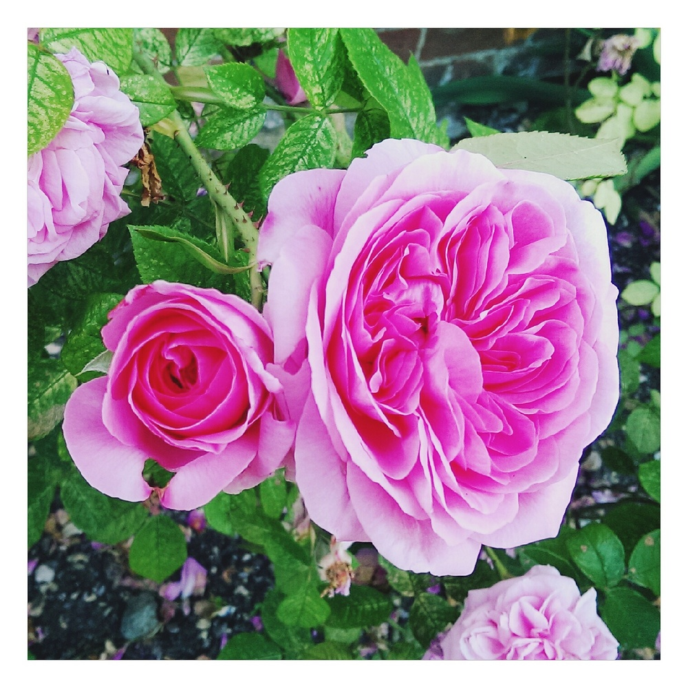 pink rose - rubelle