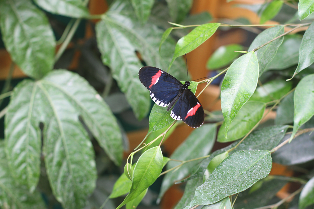 Rubelle || Butterflies Natural History Museum