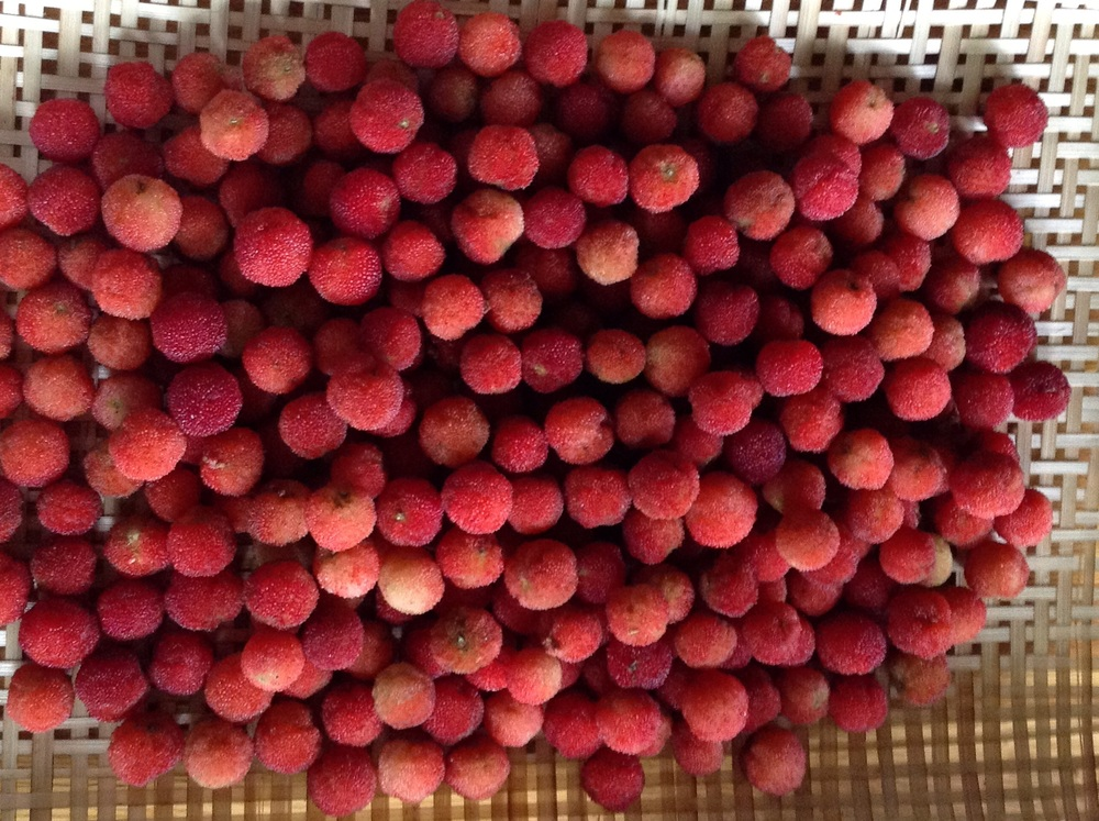Freshly harvested bayberry