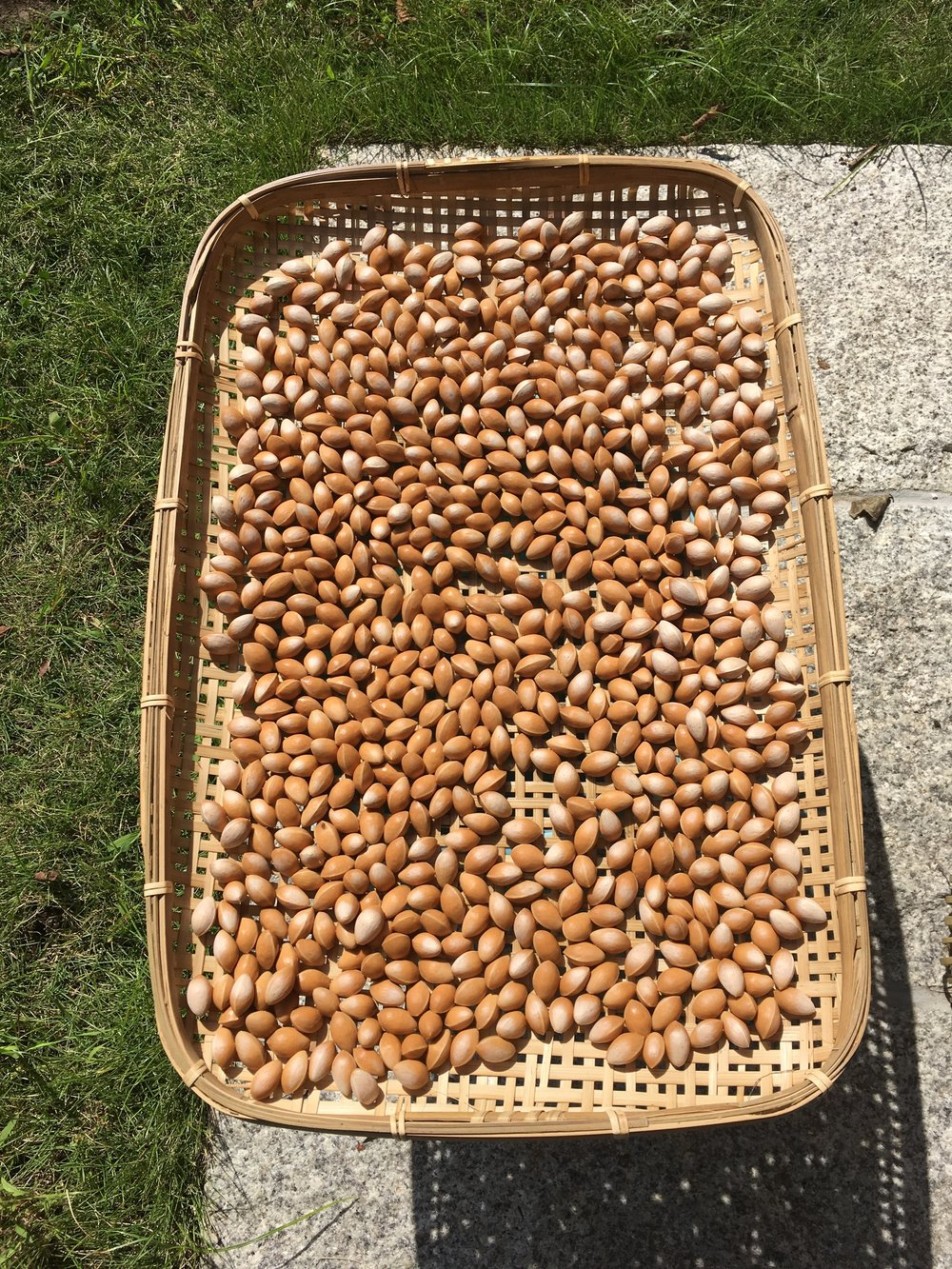 Gingko nuts drying in the sun