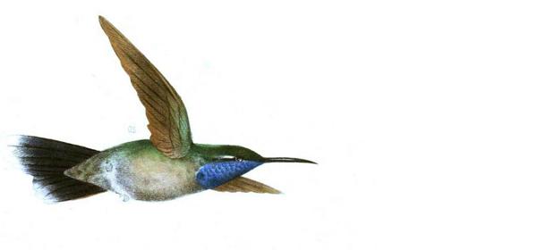 hummingbird4.png