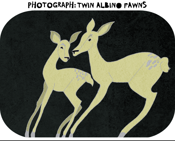 Photograph-twin-albino-fawns.png