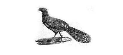 pheasant22.png