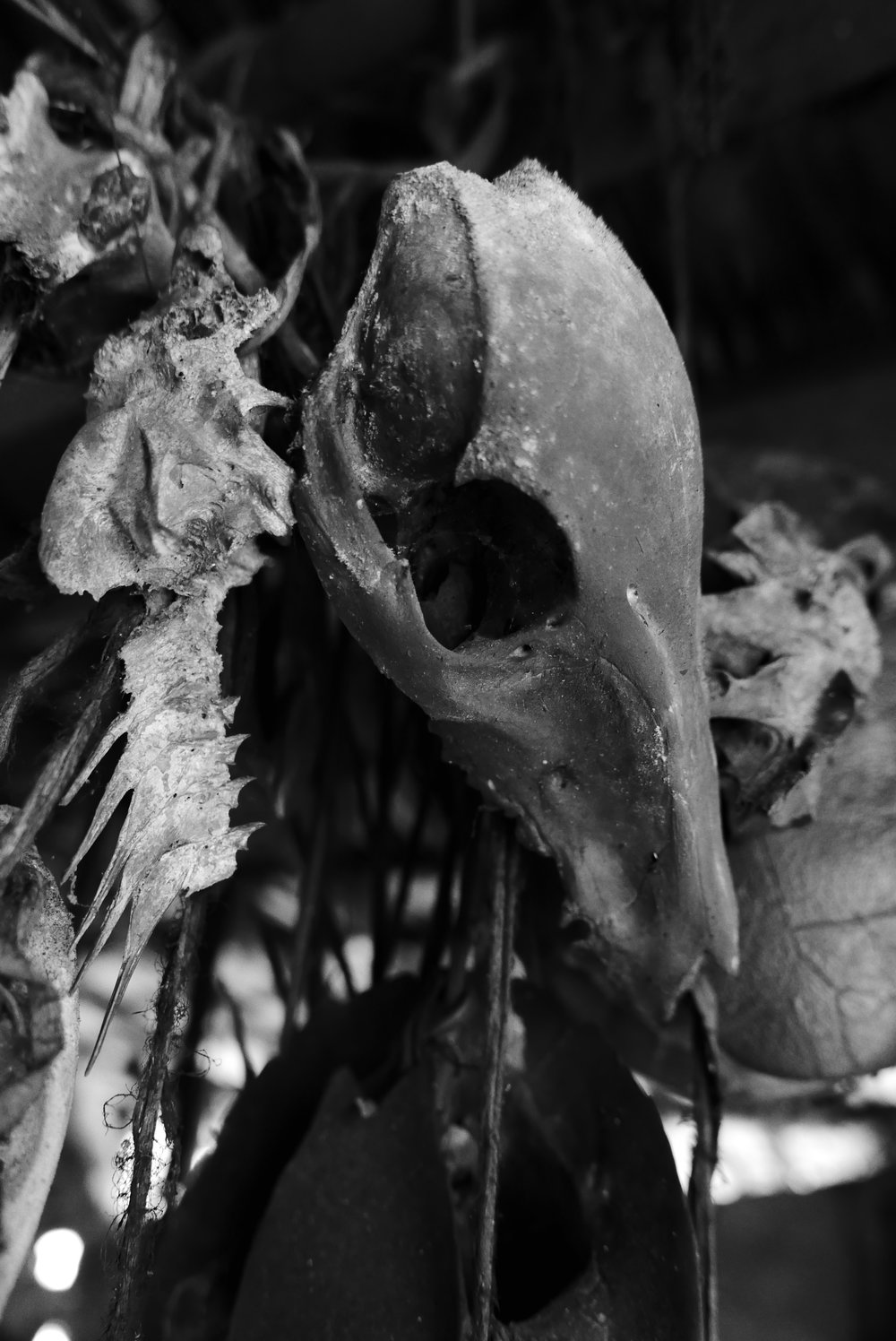 The Korowai traditionally hang skulls and bones from their past kills as ornamental decoration in the rafters of their treehouse homes