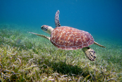 Culebra turtle.jpg
