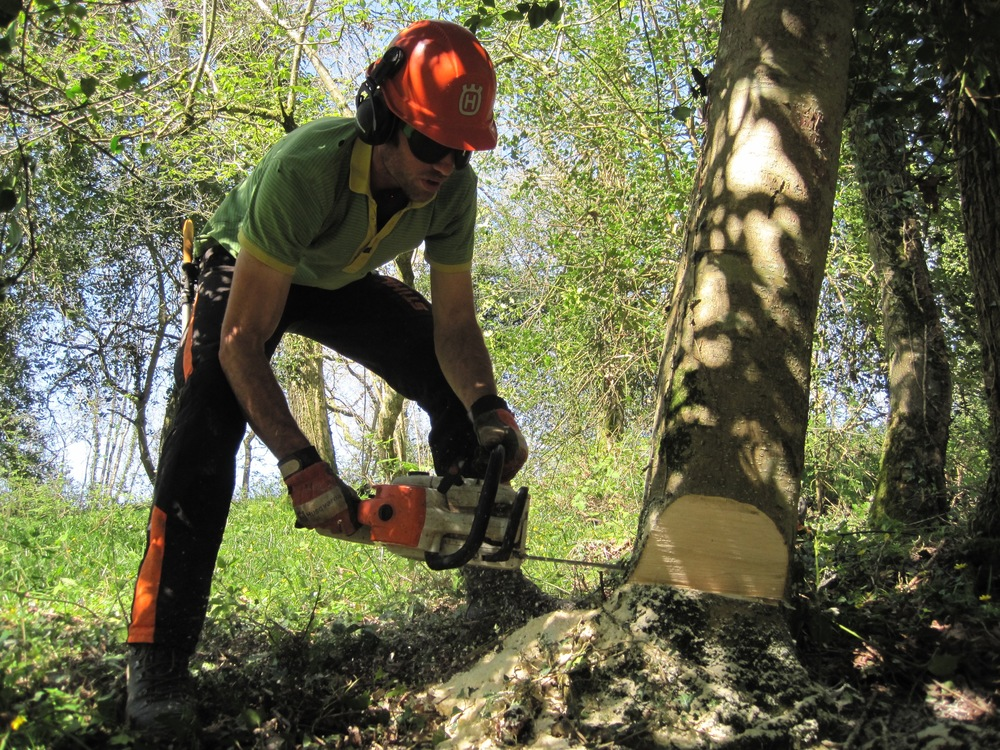 Cutting a biggish holly with the trusty Stihl ms.201.  Holly is an amazing white, dense wood which takes shape very well.  I'm hoping to make a few chairs out of holly soon, I think they will be beautiful.  I feel very lucky to have access to holly wood of this size, and to work in the amazing woodland where they grow.