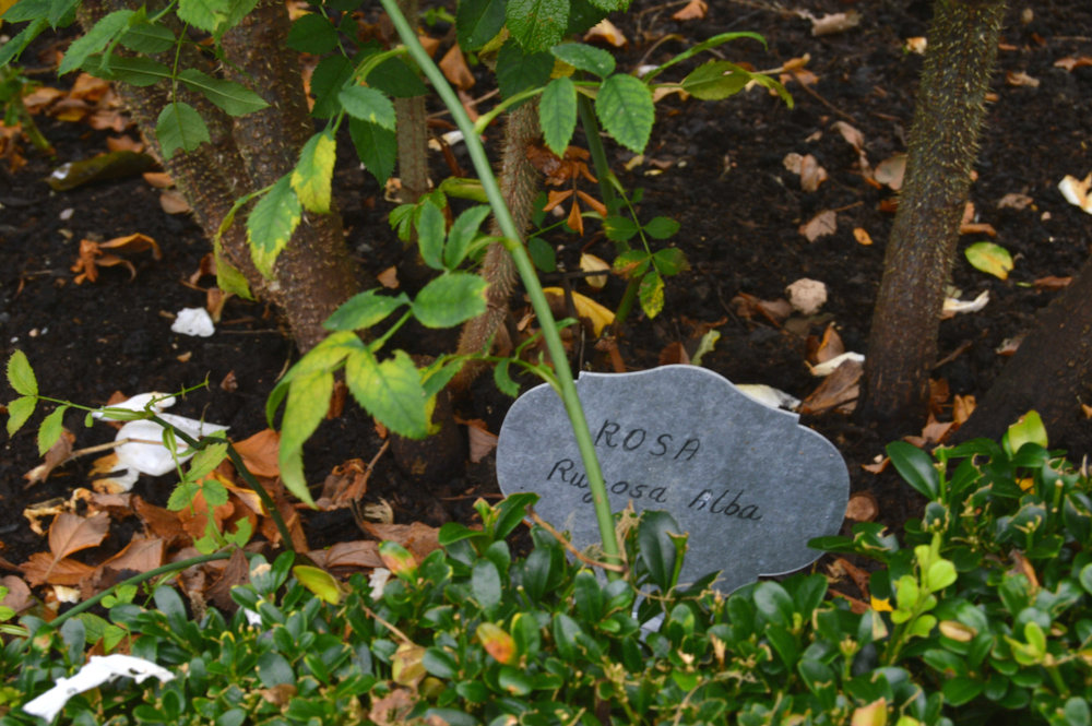 Arundel castle rose garden