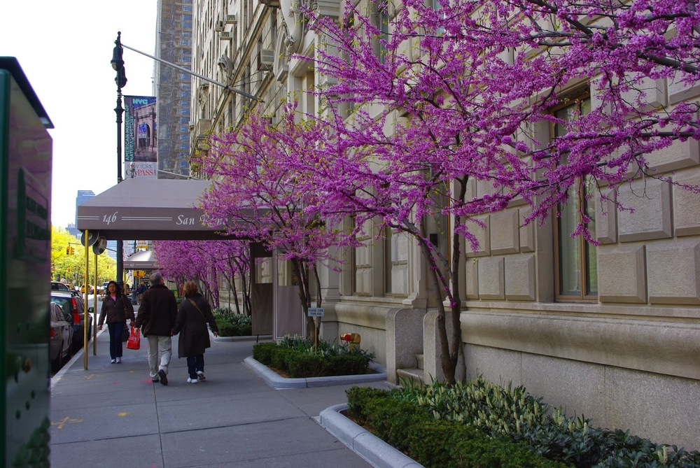 Redbuds flowering in NYC