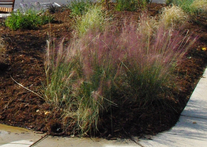 Muhly Grass with its pink plumes in fall