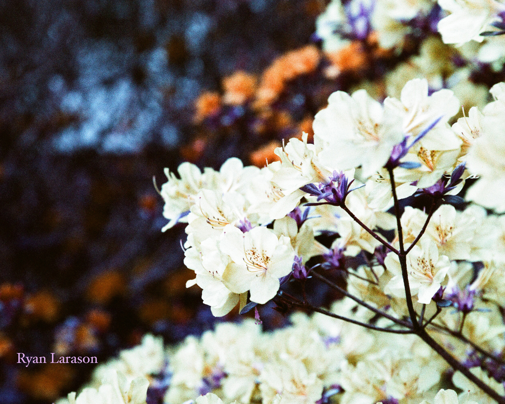 Flowering Bush_8x10_WM.jpg