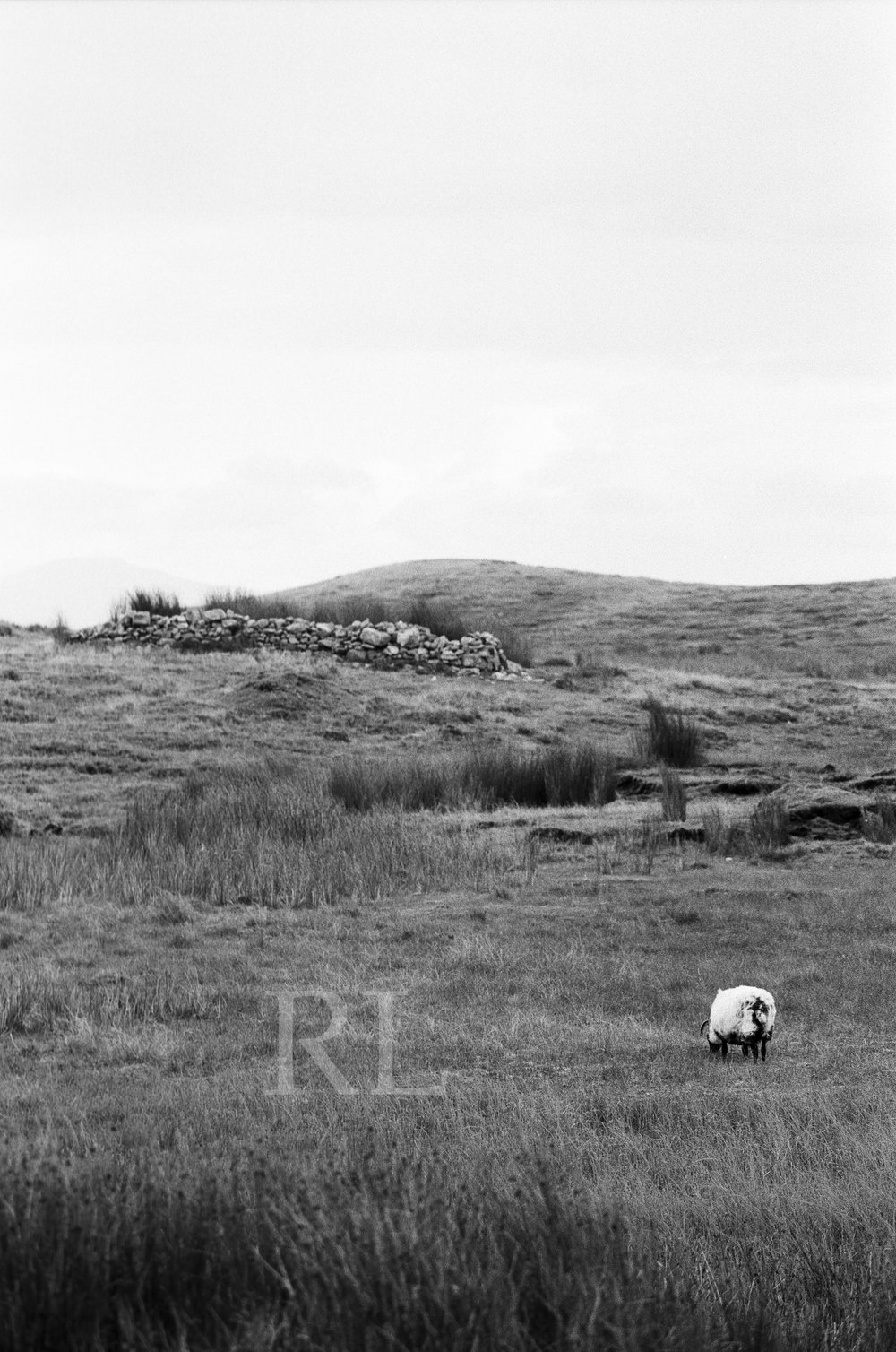 Sheep on Clare Island_WM.jpg