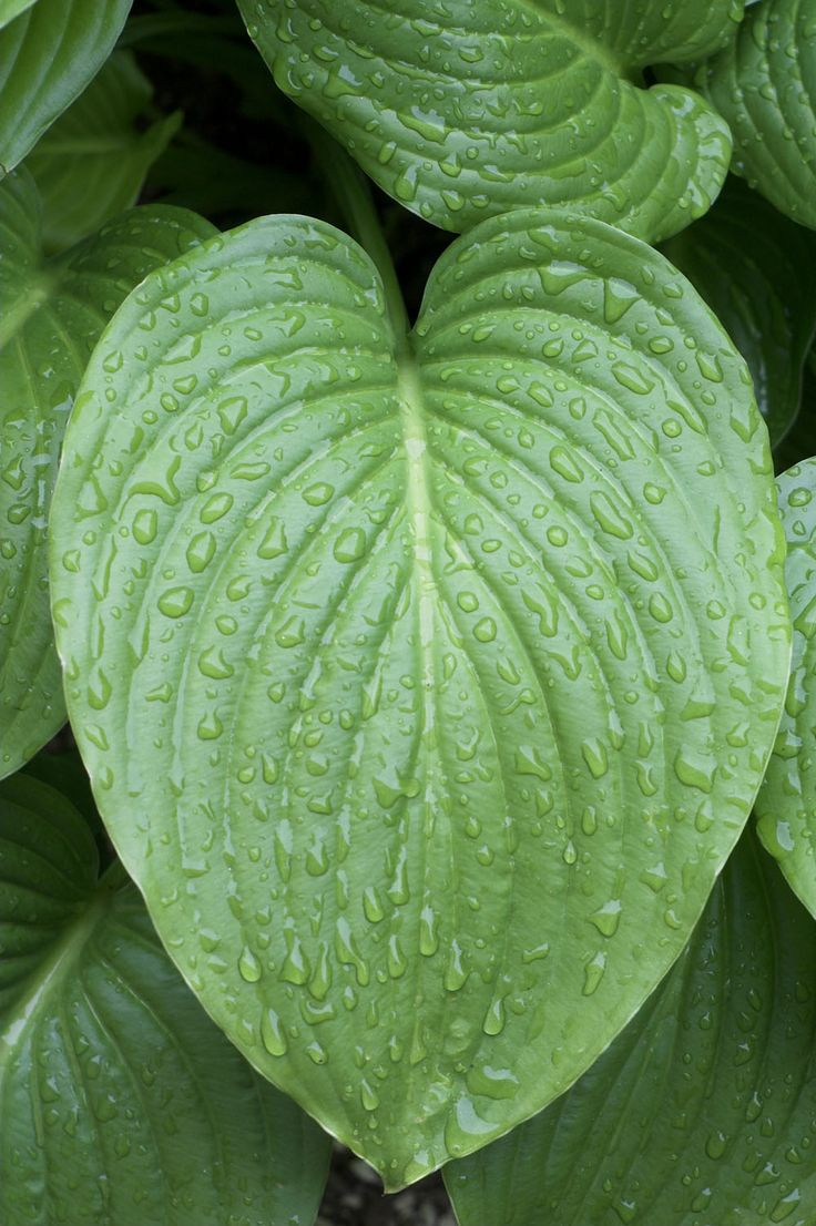Hosta with raindrops on it