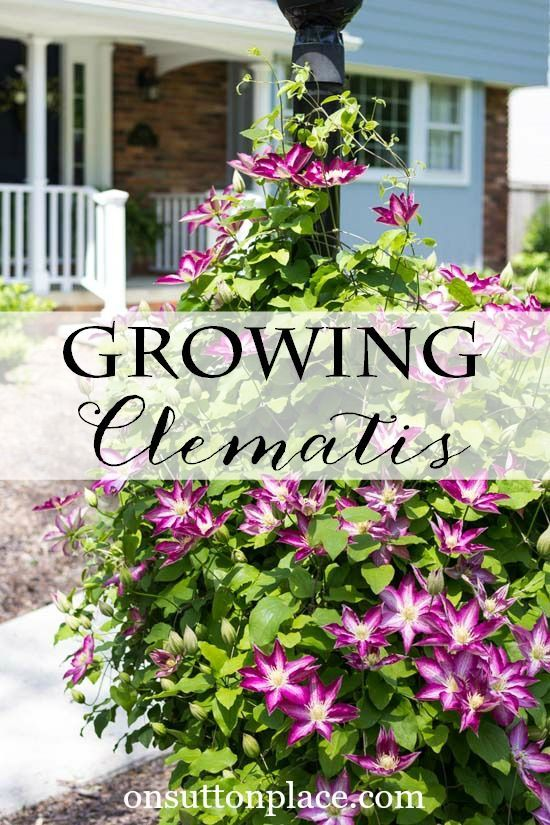 Tips On Growing Clematis