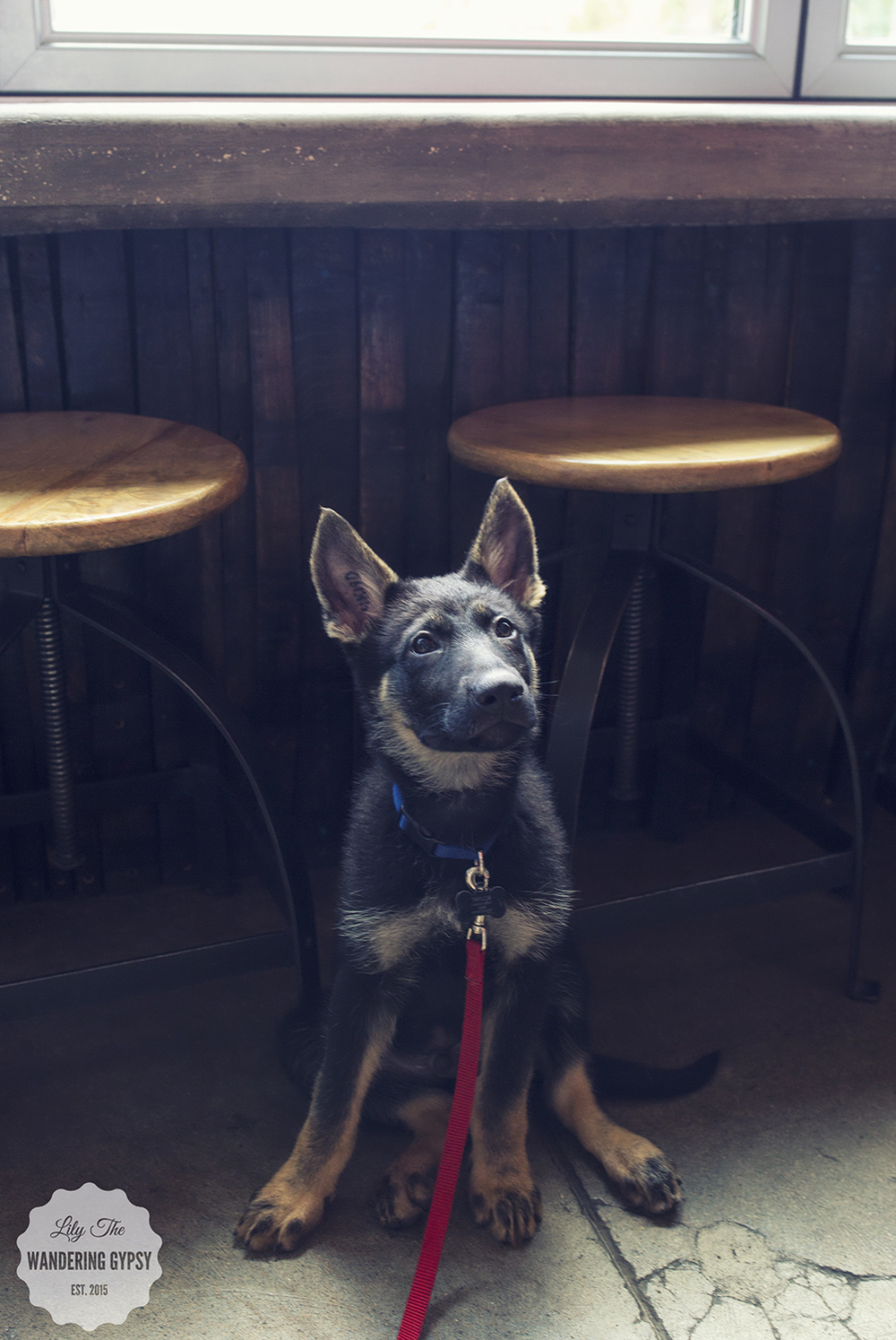 Green Bench Brewing is super dog friendly! We met this cute little German Shepard puppy, who was 3 months old!