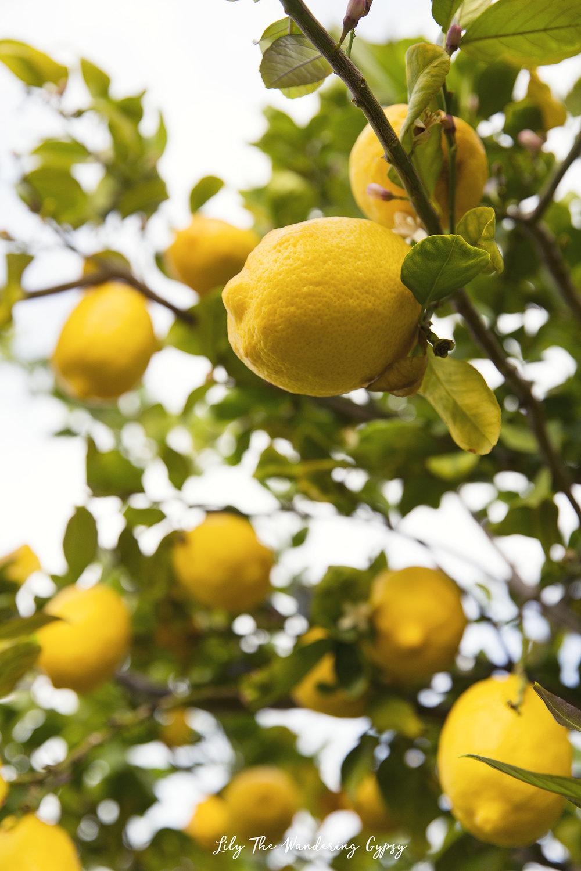 Our lemon tree in Arizona, in full bloom!