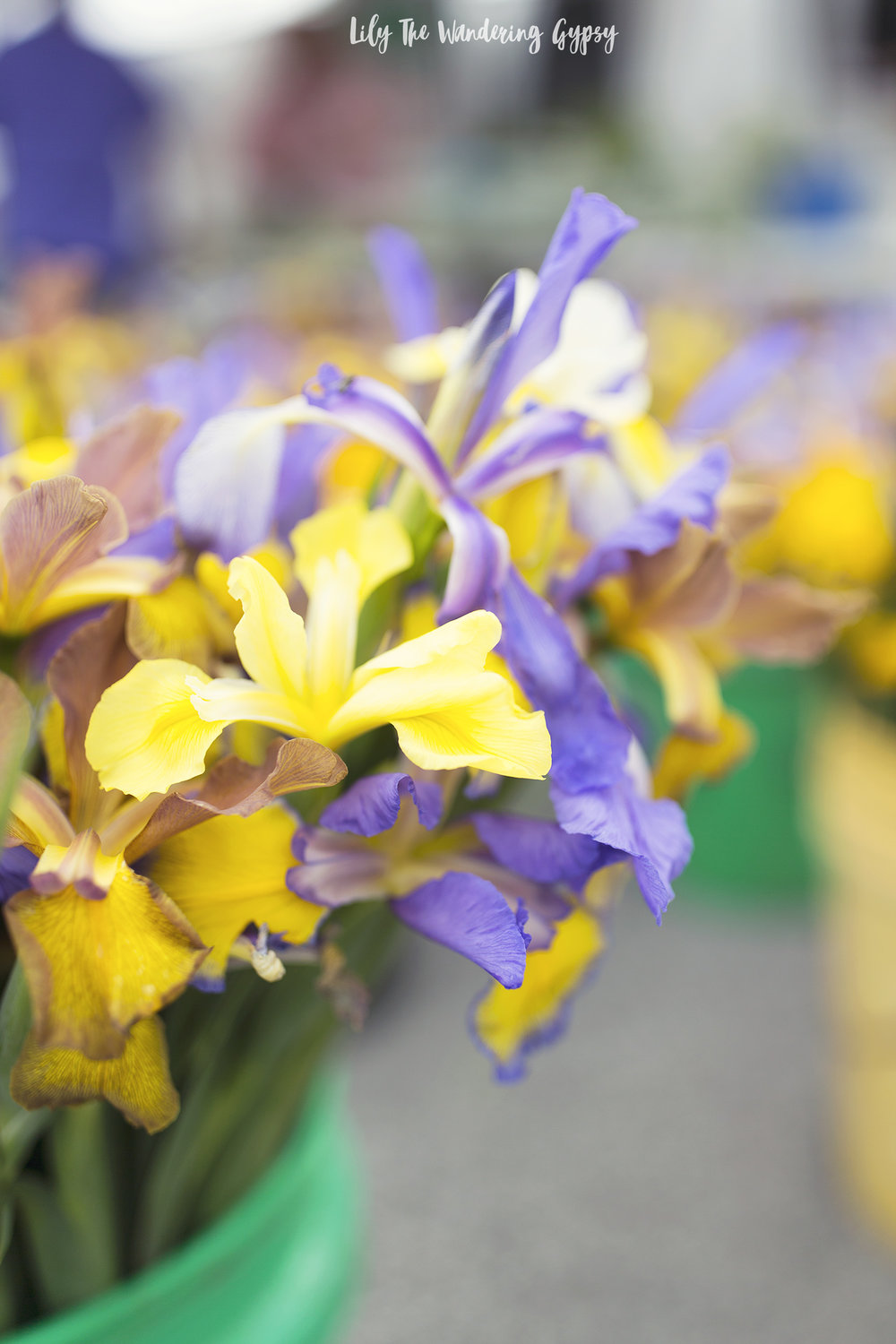 gold and purple Irises