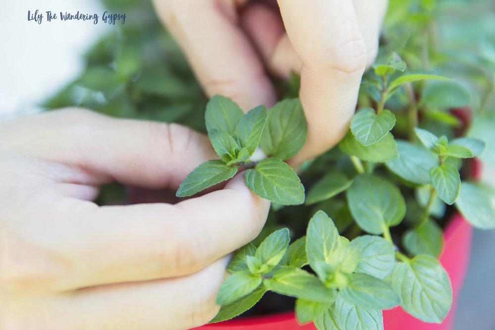 Garden Fresh Mint