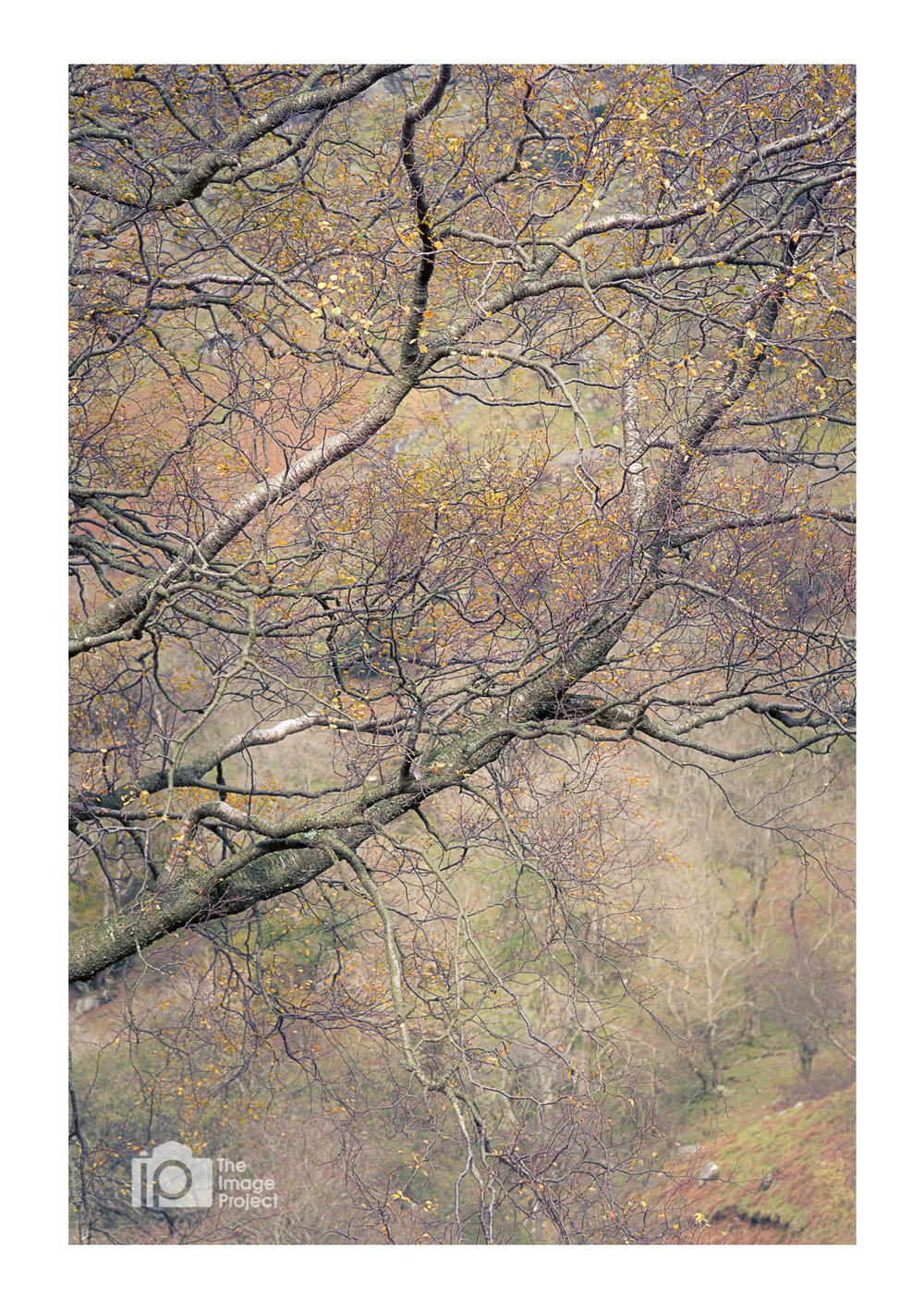 Branches in dense autumn woodland near Grasmere
