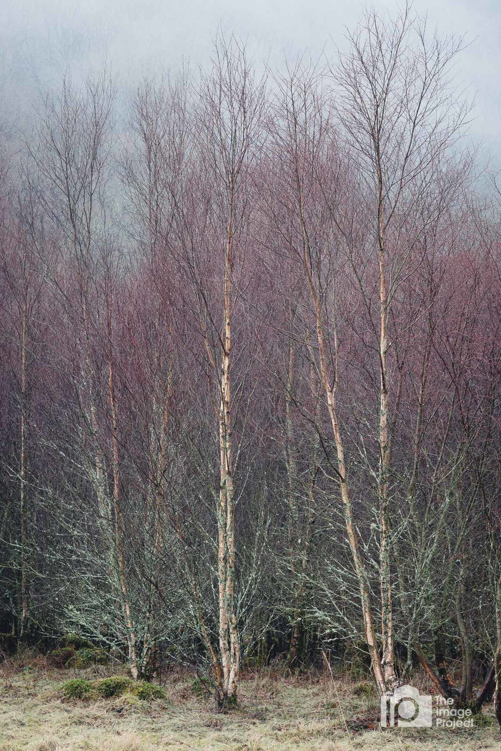 Trio of birch trees, near Capel Curig, March 2018