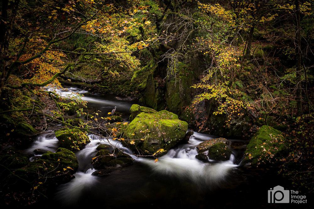 Grey heron by waterfall